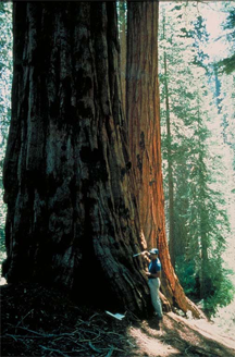 The giant sequoia