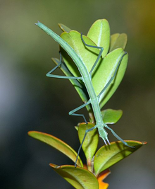 Spanish Walking Stick insect (Leptynia hispanica)