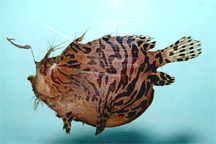 The Striped Anglerfish, Antennarius striatus