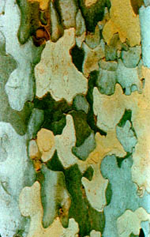 The bark of the American Sycamore