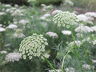 Ammi Visnaga, a nile weed that has medicinal value