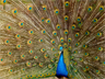 A blue peacock of India