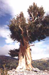 A bristlecone pine in the Great Basin National Park