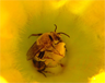 "Male peponapis pruinosa — one of the ""squash bees."""