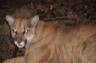 An adult male mountain lion captured by biologists