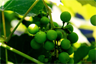 Unripe grapes that are probably sour