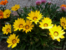 Treasure flowers (Gazania rigens) at Alcatraz Island