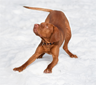 A vizsla in a pose called the play bow