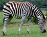 A captive zebra of the species Equus quagga (plains zebra)