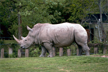 A captive white rhino