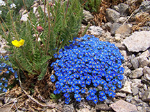 Wildflowers in the Grand Mesa Uncompahgre and Gunnison National Forests